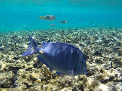 Blue tang; old conch graveyard