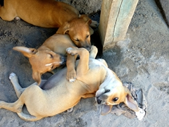 Playful puppies at the Caye Caulker animal shelter