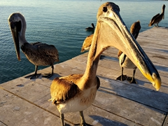 Pelicans gathering for the daily late afternoon feeding; Iguana Reef Inn