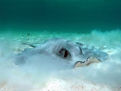 Southern stingray searching for food
