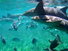 Nurse sharks in a feeding frenzy