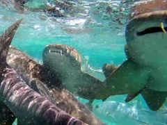 Hungry nurse sharks looking for food