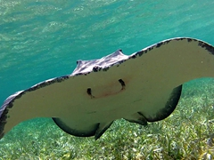 Southern stingray swooping in for an easy meal