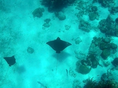 A pair of eagle rays; Hol Chan