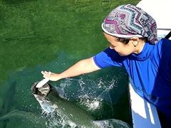 Becky feeding sardines to a tarpon