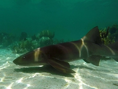 Hungry nurse shark prowling for food