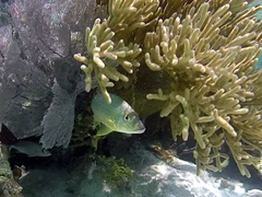 French grunt hiding in soft coral; Belize Barrier Reef