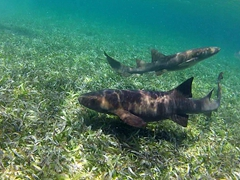 "Nurse sharks converge at ""shark ray alley"""