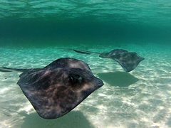 Southern stingrays swimming in formation