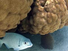 Bermuda chub hiding in coral