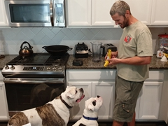 Joey and Quincy (English Bulldogs) stare hungrily at Robby's banana; Houston