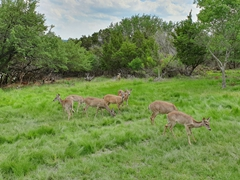 Deer grazing near Joe's property; Killeen