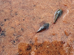 Tadpole shrimp appear in water pockets after a heavy rain; Coyote Buttes North