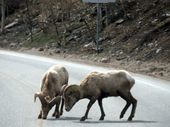 Bighorn sheep take over the road