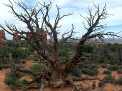 Old dead tree; Arches National Park