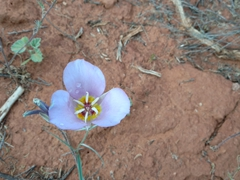 Winding mariposa lily; Vermillion Cliffs National Monument