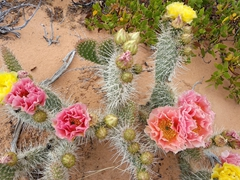 This cactus plant had yellow and pink flowers!