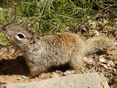 A cheeky squirrel begs for food; Zion National Park