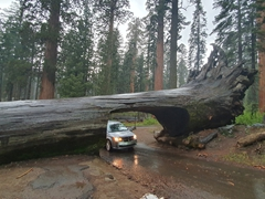 A car drives through Tunnel Log; Sequoia National Park