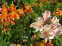 Summer flowers in bloom; Monterey