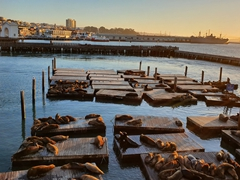 Seal colony at Pier 39; San Francisco