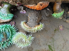 Sea anemones in tide pools; Ruby Beach