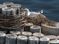 Seagull nest; Port Townsend ferry terminal