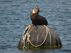 Sea lion balancing on a mooring buoy; Monterey