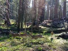 Deer at Mariposa Grove; Yosemite
