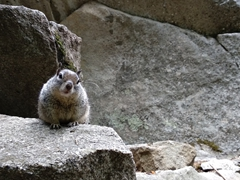 Hungry squirrel; Yosemite