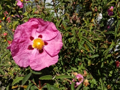 Pink poppy; Mendocino