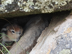Curious chipmunk; Valley of Five Lakes