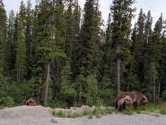 A grizzly sow with her two cubs; Moraine Lake