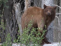 A black bear checks us out; Spray Lakes Trail