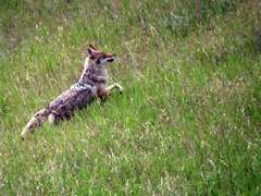 Coyote; Japser National Park