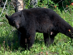 After days of rain, a black bear emerges to soak up the sun