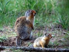 Columbian ground squirrels; Village 2 Campground