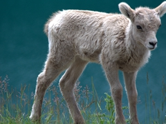 A baby bighorn sheep; Two Jack Lake