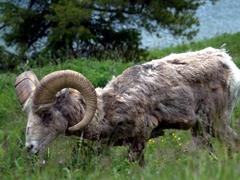 Bighorn sheep by Two Jack Lake