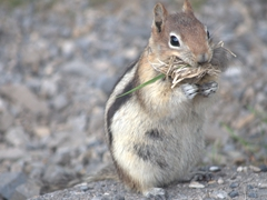 A chipmunk stuffing its mouth with nesting supplies; Lake Minnewanka