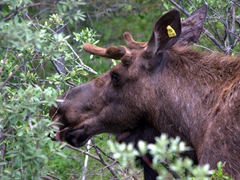 A moose by the roadside; Spray Lakes Trail
