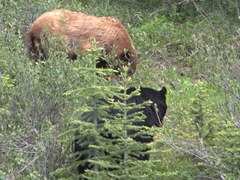 Two bears foraging for food; Spray Lakes Trail