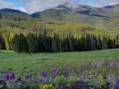 Wild flowers; Mount Washburn