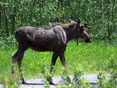 Moose by the roadside; Many Glacier