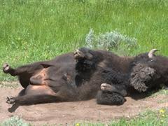 A bison rolls around in dirt