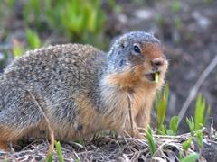Columbian ground squirrel; Logan Pass visitor center