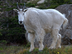 Mountain goat near Oberlin Falls; Going to the Sun road