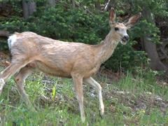 Mule deer at Artist Point