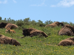 A herd of bison; Hayden Valley