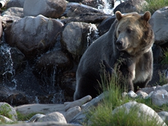 Roosevelt, a grizzly bear from Hayden Valley